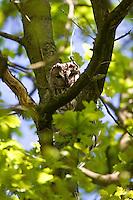 Waldkauz, Wald-Kauz, Kauz, gut versteckt im Ästegewirr einer Eiche, Strix aluco, Tawny Owl, Chouette hulotte