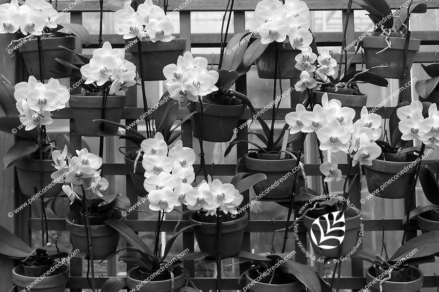 Stock photo: Rows of orchid planters arranged on a wooden mesh fence.<br />