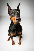 NEW YORK - FEB 10: Tai, a German Pinscher, poses for a portrait at the Hotel Pennsylvania in New York City the day before the 137th Westminster Kennel Club Dog Show on Sunday, February 10, 2013. (Photo by Landon Nordeman)