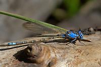 338610008 a wild blue-coloration female vivid dancer argia vivida perches on a rock near a small stream in inyo county california