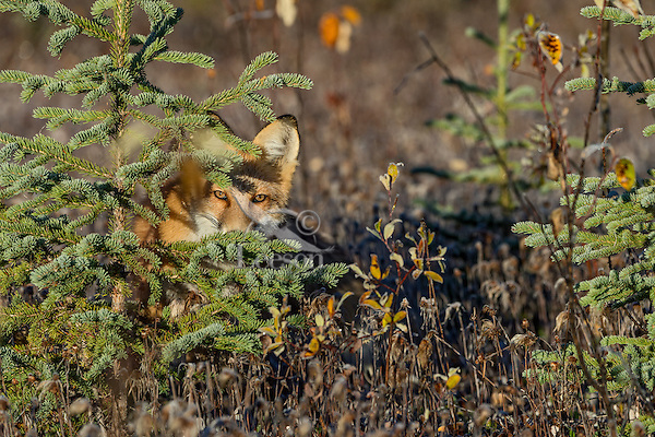 Red Fox (Vulpes vulpes) watching from behind spruce tree near the Yukon/British Columbia border.  Sept.