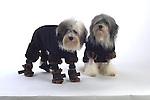 Terriers in coats