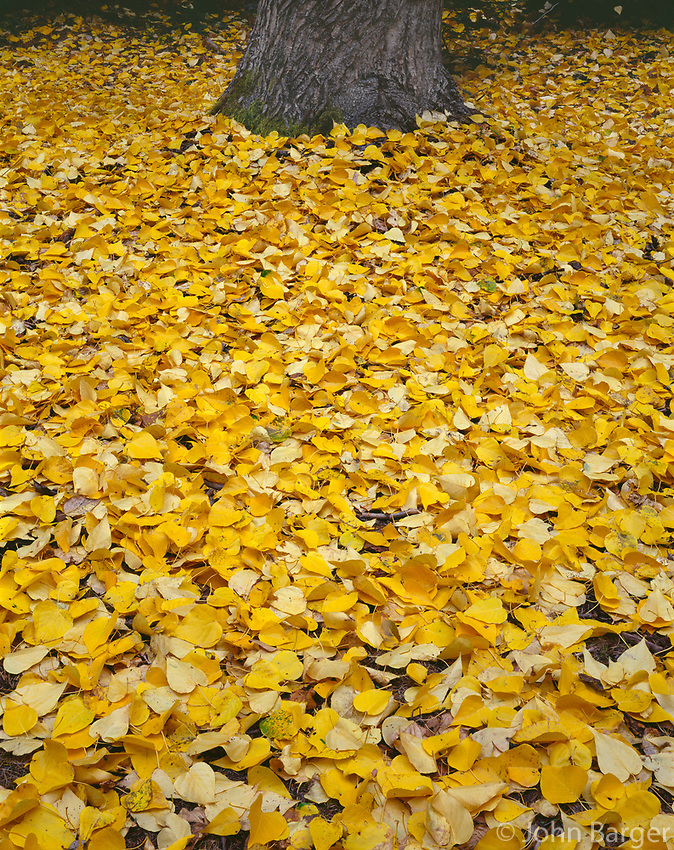 ORCAN_057 - USA, Oregon, Mount Hood National Forest, Fall-colored leaves of black cottonwood (Populus trichocarpa) cover ground and surround it's trunk.