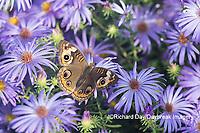03411-01301 Common Buckeye (Junonia coenia) on Frikart's Aster (Aster frikartii) Marion Co. IL