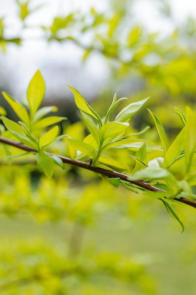 Salix sachalinensis 'Golden Sunshine'