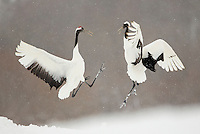 Japanese Cranes (Grus japonensis) fighting; Hokkiado, Japan, February 2015