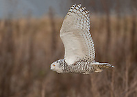 Snowy owl in flight over the tidelands of Boundary Bay.<br /> Near Ladner, British Columbia Canada<br /> 1/10/2012