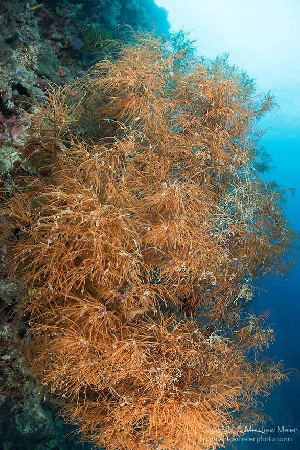Anda, Bohol, Philippines; a large aggregation of orange colored black corals growing out of a wall on the reef