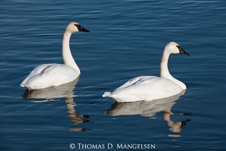 Two trumpeter swans on Flat Creek on the National Elk Refuge in Wyoming.