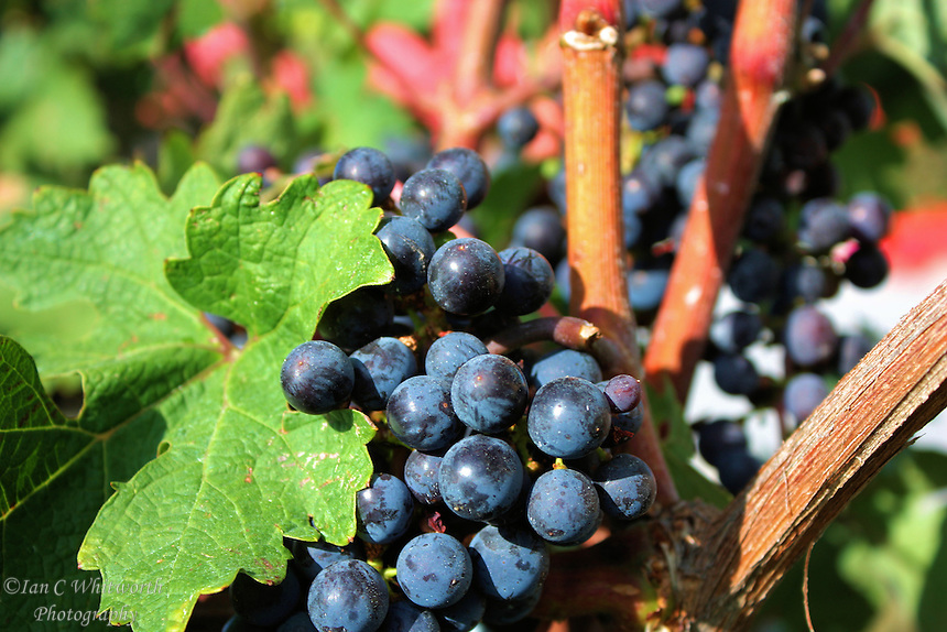 Wine grapes mature on the vine