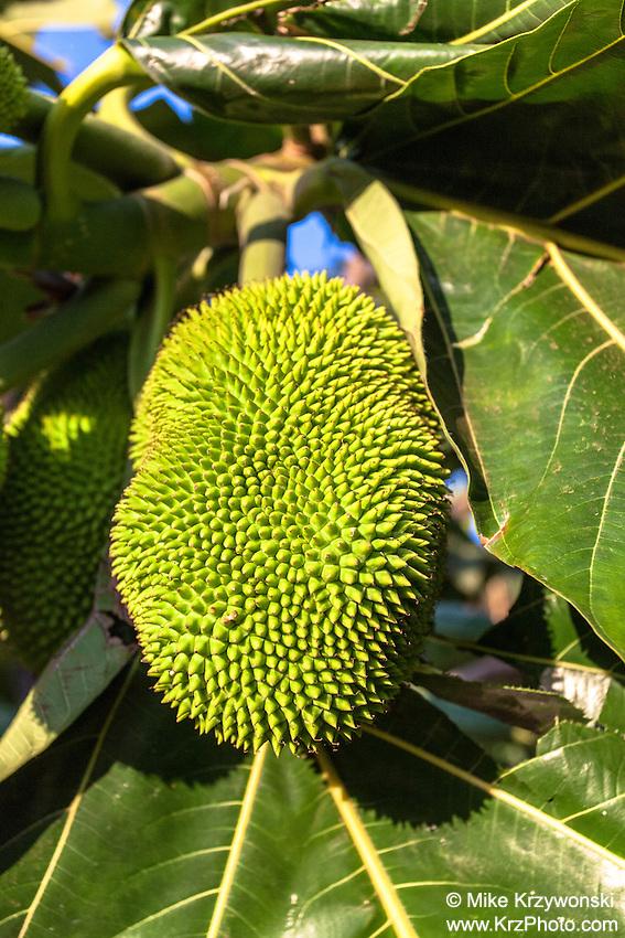 Hawaiian breadfruit (ulu), Oahu