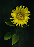 Stunning yellow sunflower from my garden.