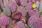 Wildflowers, AZ
