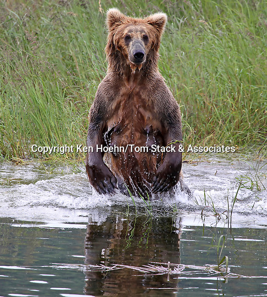 Grizzly (Brown) Bear, (Ursus arctos), Katmai National Park, Alaska, USA