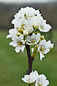 Blossom of Asian pear 'Eiko', mid March.