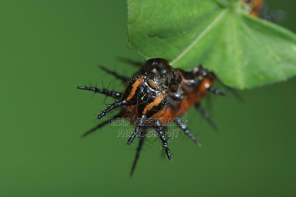 Gulf Fritillary (Agraulis vanillae), caterpillar feeding, Hill Country, Central Texas, USA