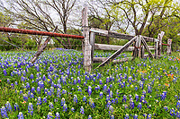 Bluebonnets  and other wildflowers grow along this old wooden gate.  This old gate probably had not been used in some time as the wildflower were growing outside and inside the gate and no sign of tracks so it safe to say it not heavily used.  All you can see is bluebonnets, wooden gate with some mesquite trees just beginning to bloom in the background in this rual texas hil country scene.
