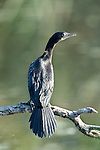 Little Cormorant Phalacrocorax niger, Keoladeo Ghana National Park, Rajasthan, India, formerly known as the Bharatpur Bird Sanctuary, UNESCO World Heritage Site.India....