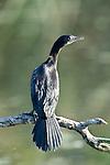 Little Cormorant Phalacrocorax niger, Keoladeo Ghana National Park, Rajasthan, India, formerly known as the Bharatpur Bird Sanctuary, UNESCO World Heritage Site.India....