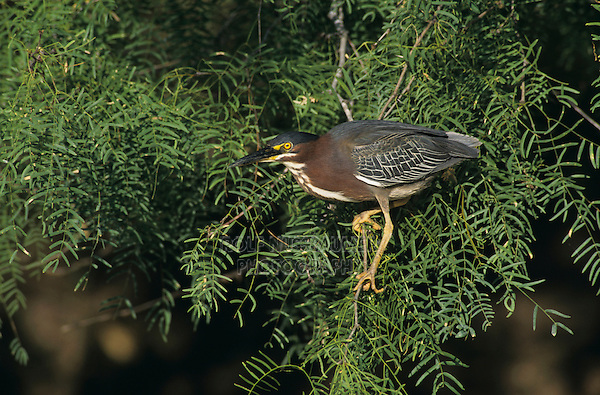 Green Heron, Butorides virescens,adult on mesquite branch, Starr County, Rio Grande Valley, Texas, USA, May 2002