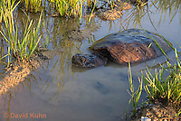 0611-0915  Snapping Turtle Exploring Pond Edge, Chelydra serpentina  © David Kuhn/Dwight Kuhn Photography