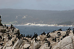 cormorants at Pt. Lobos State Reserve