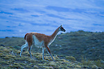 Guanaco (Lama guanicoe) at dawn, Torres del Paine National Park, Patagonia, Chile