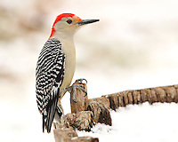 Red-bellied woodpeckers are medium sized birds with a distinctive black-and-white patterned back and a long, chisel-shaped bill.