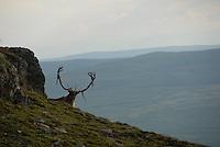 Wild reindeerVillrein,villreinbukk