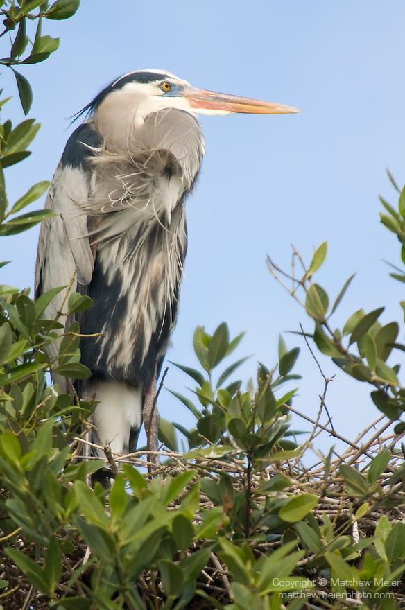 Captiva Island, Florida; a Great Blue Heron (Ardea herodias) bird in it's nest © Matthew Meier Photography, matthewmeierphoto.com All Rights Reserved