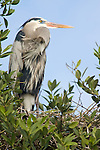 Captiva Island, Florida; a Great Blue Heron (Ardea herodias) bird in it's nest © Matthew Meier Photography, matthewmeierphoto.com All Rights Reserved