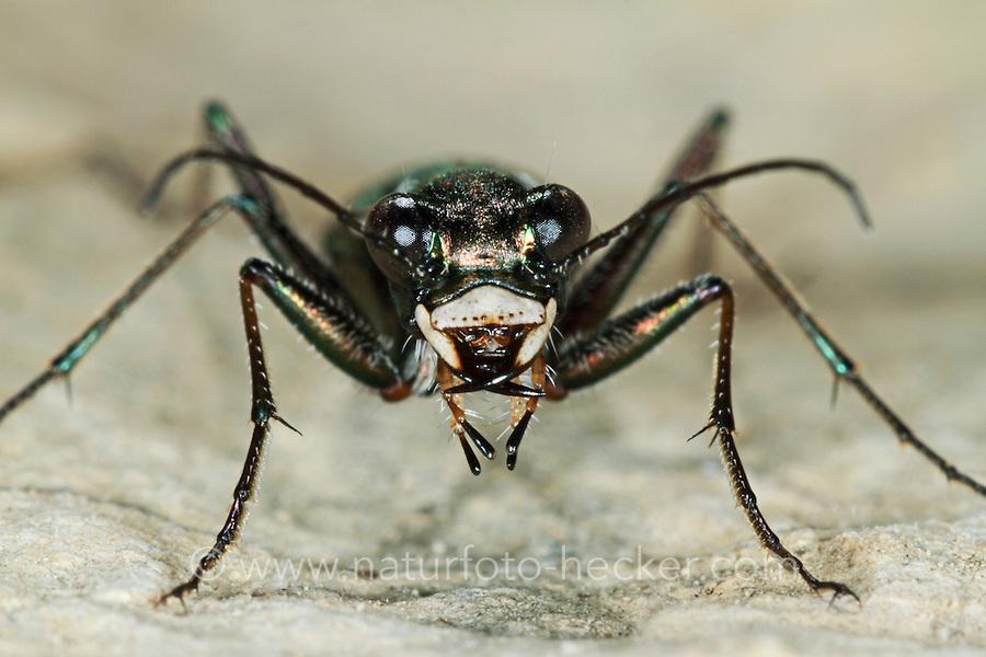 Deutscher Sandlaufkäfer, Cylindera germanica, Cilindella germanica, Cicindela germanica, German tiger beetle, cliff tiger beetle, Sandlaufkäfer, Cicindelinae, tiger beetles