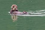 USA, Alaska , Glacier Bay National Park , sea otter (Enhydra lutris)