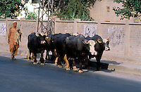 Pakistan  Peshawar  1986..Old City..The bovine brought to the market