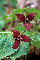 LL01-004b  Red Trillium - Trillium erectum