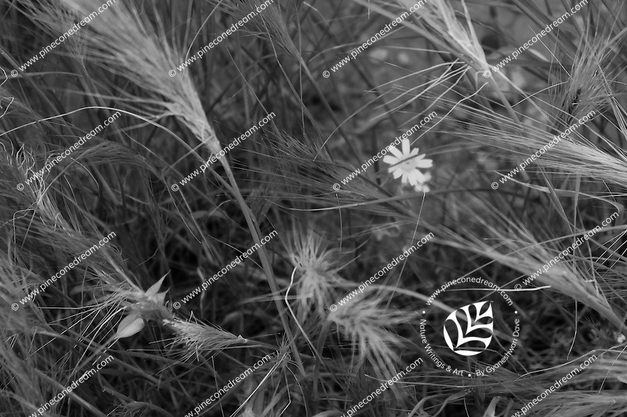 Wild grass making beautiful pattern and small daisy hiding behind, nature abstract black and white fine art stock image.<br />