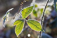 Brombeer-Blätter, Brombeerblätter, überreift, frostig, winterlich, Blatt, Blätter, Brombeere, Echte Brombeere, Rubus fruticosus agg., Rubus sectio Rubus, blackberry, bramble, leaf, leaves, ronce