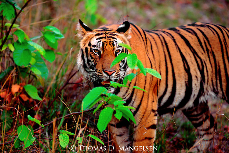 Portrait of a bengal tiger in Bandhavgarh National Park.