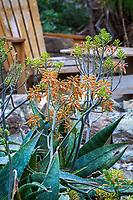 Aloe maculata (A saponaria) Soap aloe or zebra aloe; spotted leaf red flowering succulent in Leaning Pine Arboretum