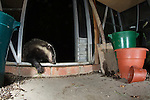 Badger (Meles meles) caught raiding greenhouse in a garden in Bedfordshire. This picture was captured using an infra red beam that when broken fires my camera and 3 flashes.