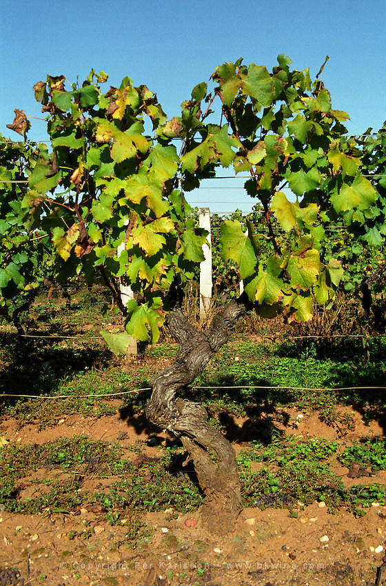 Semillon vine in the vineyard in sunshine on the typical Barsac soil.  Chateau Caillou, Grand Cru Classe, Barsac, Sauternes, Bordeaux, Aquitaine, Gironde, France, Europe