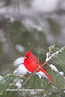 01530-21205 Northern Cardinal (Cardinalis cardinalis) male in white pine tree in winter, Marion Co., IL