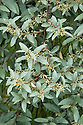 Oleaster (Elaeagnus 'Quicksilver'), Great Dixter, early June.