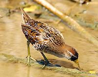 Sora in breeding plumage