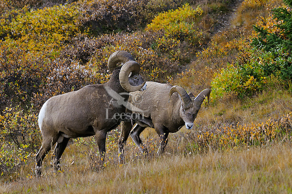 Bighorn Sheep Rams (Ovis canadensis)--larger ram showing dominance over younger male.  Northern Rockies.  Fall.