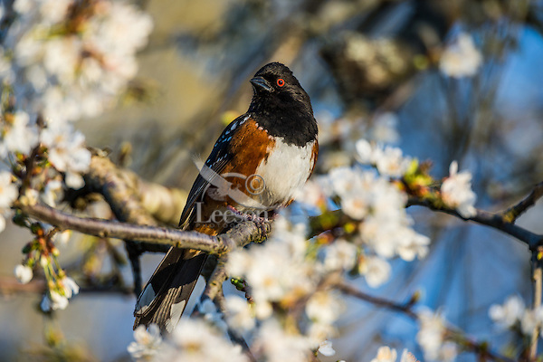 Male Spotted Towhee (Pipilo maculatus) among cherry tree blossoms.  Pacific Northwest, spring.