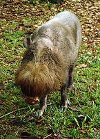 Weighing anywhere between 60-80kg and sometimes exceeding 120kg, the Bornean bearded pigs are the largest mammals that one can see in Bako National Park. Demographically, they are endemic to South East Asia, especially in Sumatra, Borneo and the Philippines. With a scientific name of Sus barbatus, they form a species of pig with distinctive beard of bristles lining both sides of their snouts.
