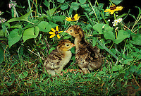 Tow newly hatched turkey babies (poults) exploring the garden, Midwest USA
