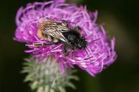 Felsenkuckuckshummel, Felsen-Kuckuckshummel, Kuckuckshummel, Schmarotzerhummel der Steinhummel, Bombus rupestris, Psithyrus rupestris, cuckoo bumblebee, Cuckoo Bee