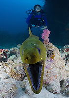 TR1333-D. Green Moray Eel (Gymnothorax funebris), can grow to 8 feet long but usually 3-5, hunts at night, during daytime it is usually found with head poking out of a hole in the reef. Cayman Islands, Caribbean Sea.<br /> Photo Copyright &copy; Brandon Cole. All rights reserved worldwide.  www.brandoncole.com